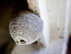 West Wales Wasp Nest Removal Amp Bee Control 07964 163 207