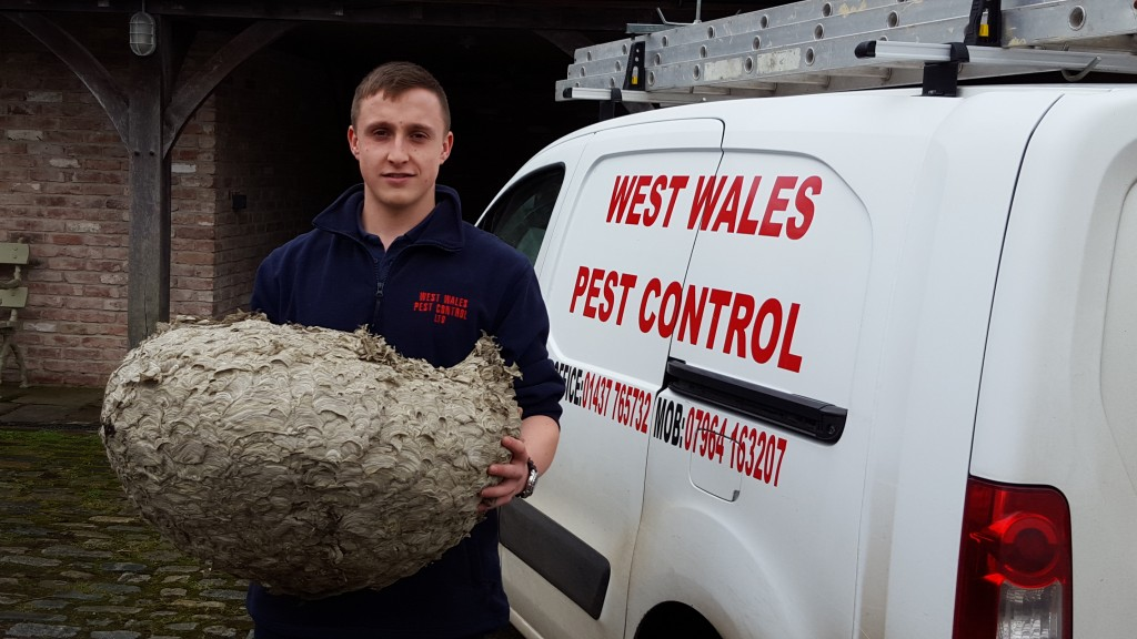 wasp removal carmarthen